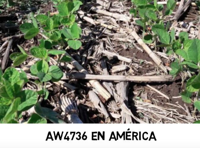 AW4736 vs. las principales RR1 de la región